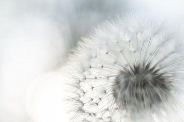 Löwenzahn von Frans Scherpenisse