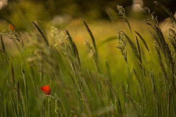 Klaproos in het gras van Wolbert Erich