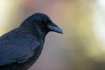 Rabenkrähe ( Corvus corone ), detailreiches Kopfportrait, wunderschöne Gefiederzeichnung. von wunderbare Erde