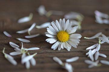 Gänseblümchen  von zwergl 0611