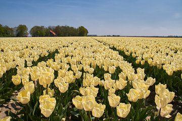 Veld witgele tulpen van Ad Jekel