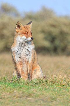 Red Fox van
