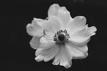 witte anemone van Tania Perneel