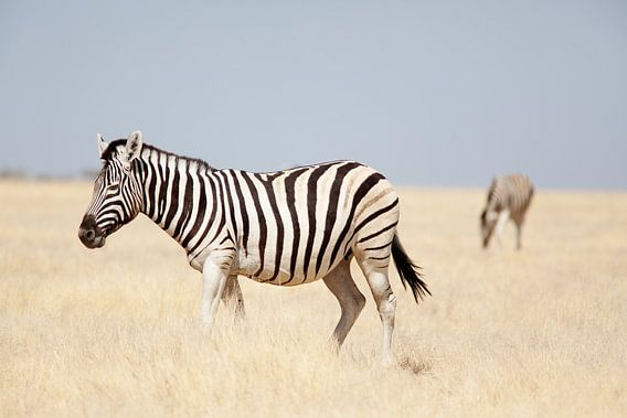 Zebra's in Etosha NP Namibie