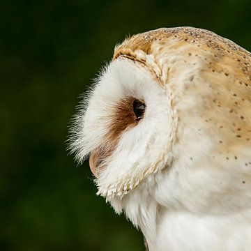 Kerkuil - Tyto alba van Rob Smit