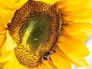 Bee - Hommel op bedauwde zonnebloem van Stijn Cleynhens
