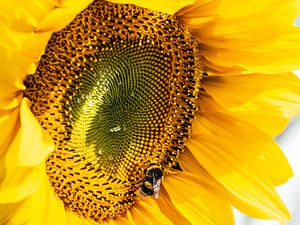 Hummel auf taufrischer Sonnenblume von Stijn Cleynhens