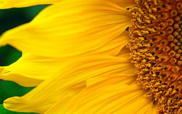 Gelbe Wellen Sonnenblume von Mariska Wondergem