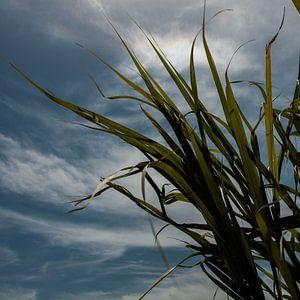Cuba sugarcane