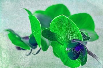 Grüne Orchidee, Gefleckte grüne Orchidee von Rietje Bulthuis