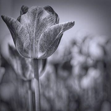 tulp in zwart-wit van eric van der eijk