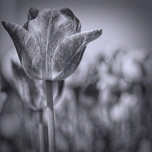 tulp in zwart-wit van