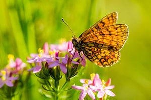Bosparelmoervlinder Melitaea athalia. Oranje vlinder op roze bloem
