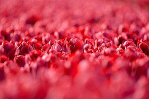 Tulpen uit Nederland.