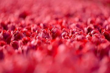Tulipes des Pays-Bas. sur Francis Dost