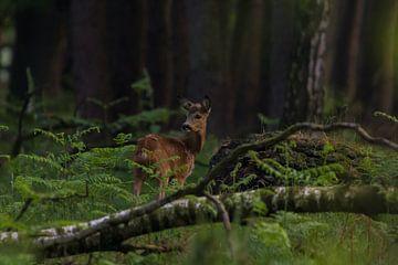 Ree in het donkere bos van Frederik lembreght