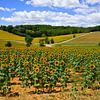 Zonnebloemen van Gerard Oonk thumbnail
