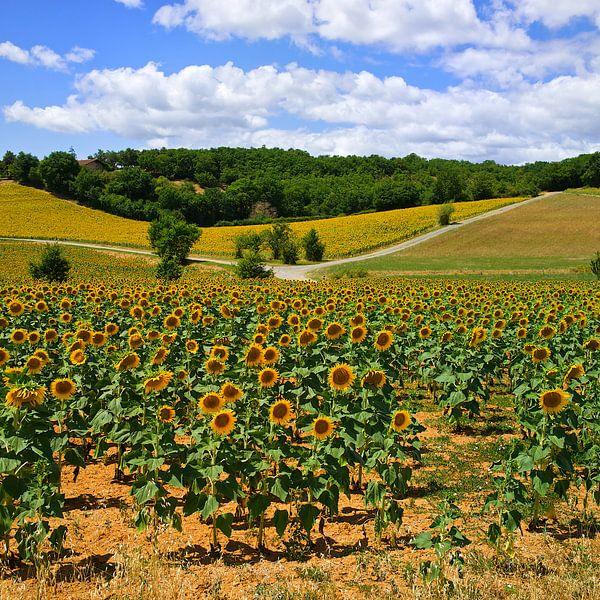 Zonnebloemen van Gerard Oonk