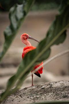 Roter Ibis auf einem Stein zwischen den Blättern von Jolien Berntsen