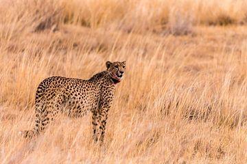 Cheetah in Afrika von Mark den Boer