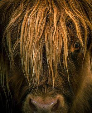 Onderonsje met Schotse hooglander van Erica Kuiper