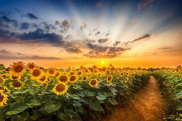 Sonnenblumenfeld bei Sonnenuntergang | der geheime Pfad