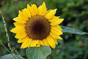 Die Sonnenblume. von Jurjen Jan Snikkenburg