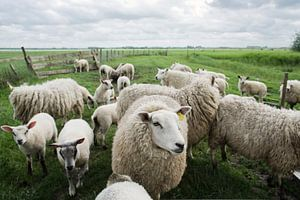 portrait of sheep van