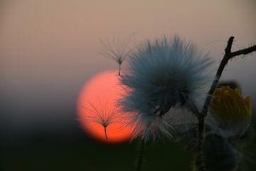 macro zonsondergang pluisjes  van