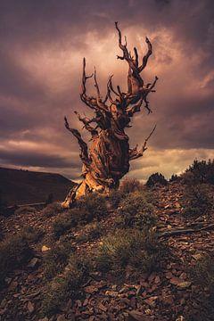 Stormachtige Bristlecone van Joris Pannemans - Loris Photography
