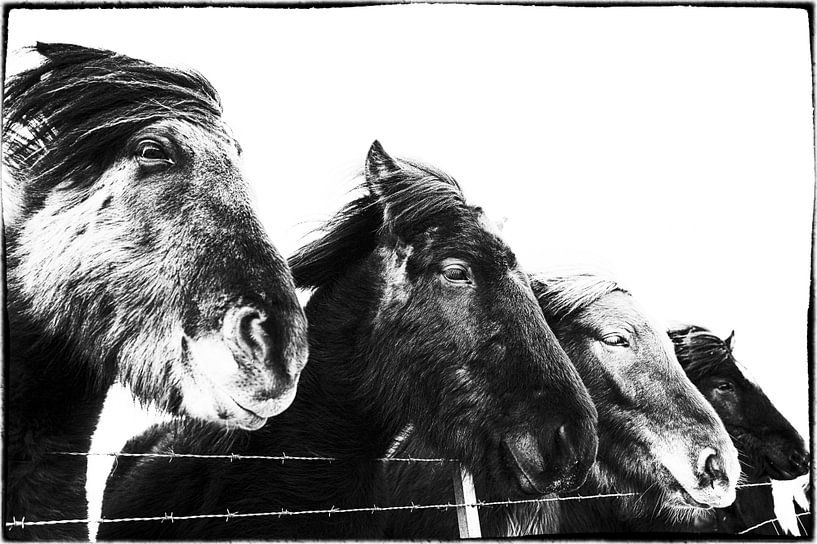 Standa í röð sur Islandpferde  | IJslandse paarden | Icelandic horses