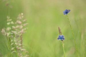 zwei blaue Schmetterlinge