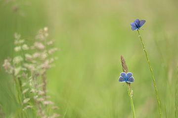 deux papillons bleus sur Ina Hendriks-Schaafsma