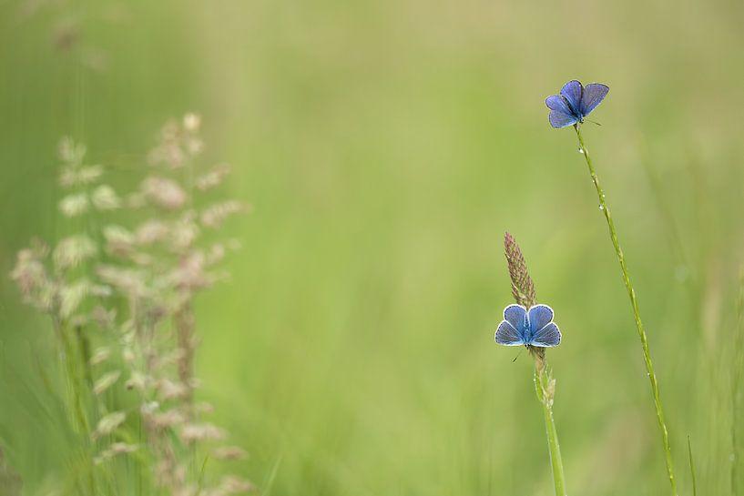 zwei blaue Schmetterlinge von Ina Hendriks-Schaafsma