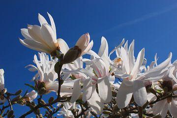 Magnolia van Rob van Keulen