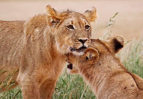 Two young lions - Africa wildlife