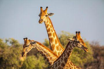 Giraffe (Giraffa camelopardalis) driedubbel portret van