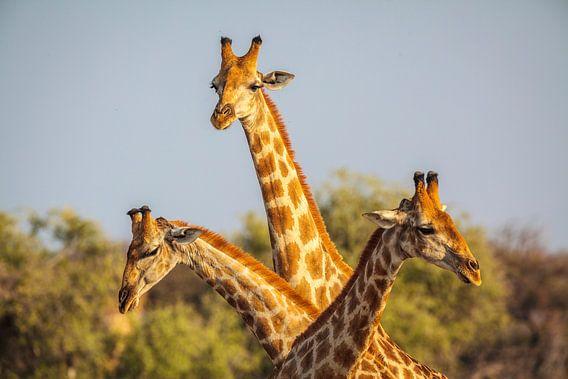 Giraffe (Giraffa camelopardalis) driedubbel portret
