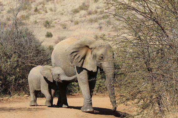 Olifant met jong Zuid Afrika
