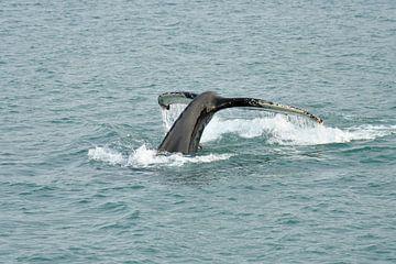 Humpback Whale starting to dive van Senne Koetsier
