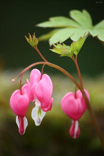 bleeding heart flower van Meleah Fotografie