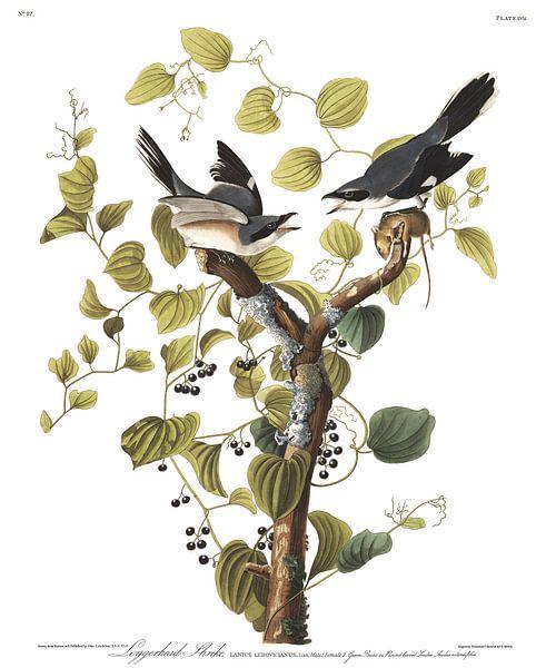 Amerikaanse Klapekster van Birds of America