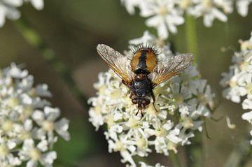 Honingbij op bloem van Walter Frisart