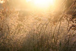 Wuivende grashalmen in de ochtendzon