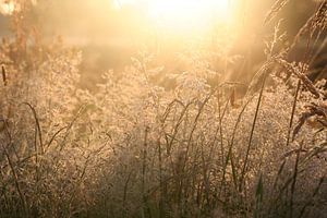 Wuivende grashalmen in de ochtendzon van