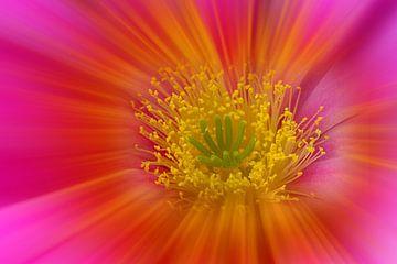 Kakteenblüte in Pink von Ursula Di Chito