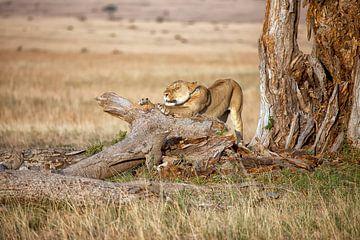 Erwachende Löwin von Angelika Stern