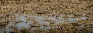 Grutto in het moeras