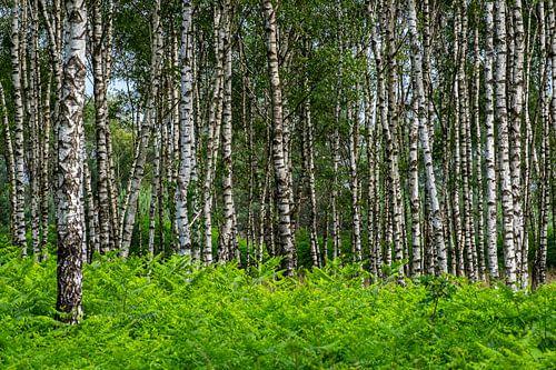 Statige berkenbomen op de Kampina van