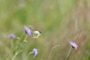 vlinder Klein koolwitje van Ronenvief